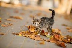 Les beaux jeux de chaton avec les feuilles tombées Photographie stock