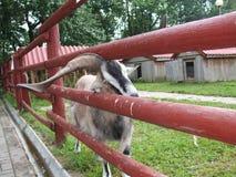 Les beaux klaxons faits maison de chèvre ont collé dans la barrière Photos stock