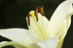 Les beaux lis blancs ont fleuri - du fond vert Image libre de droits