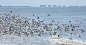 Les beaux oiseaux de sanderling volent au-dessus de la ligne de ressac sur l'île d'Estero image libre de droits