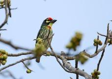 Les beaux oiseaux en Thaïlande comme manger le fruit mûr et bon nombre d'entre eux sont dans les paires image libre de droits