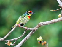 Les beaux oiseaux en Thaïlande comme manger le fruit mûr et bon nombre d'entre eux sont dans les paires image stock