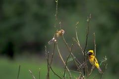 Les beaux oiseaux en Thaïlande comme manger le fruit mûr et bon nombre d'entre eux sont dans les paires photographie stock libre de droits