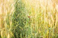 Les beaux papillons se reposent sur une transitoire d'un champ blond comme les blés photos stock