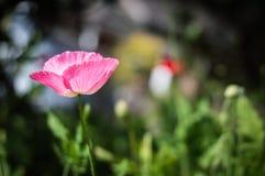 Les beaux pavots roses fleurissent dans graden photographie stock
