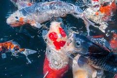 Les beaux poissons de koi mangent de la nourriture Photos stock