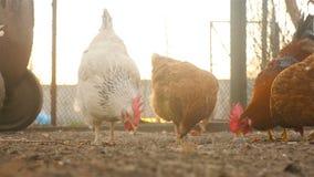 Les beaux poulets dans la cour mangent le grain clips vidéos