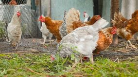 Les beaux poulets mangent l'herbe dans la cour Yard de pays Mouvement lent banque de vidéos