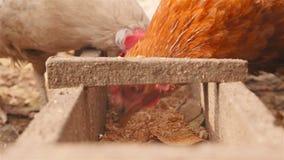 Les beaux poulets mangent le grain Plan rapproché clips vidéos