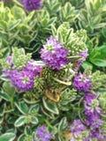 Les beaux suppléments pourpres de Hebe fleurit généralement connu en tant que ` arbustif s de Veronica photographie stock libre de droits