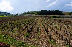 Les beaux vignobles à Beaune Cote de Beaune où le vin est Photo libre de droits