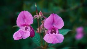 Les beaux wildflowers peu communs de rose se ferment  Orchidée de champ clips vidéos