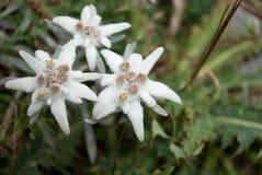 Les belles étoiles alpines photographie stock