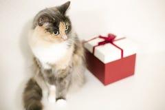 Les belles couleurs pelucheuses d'un chat 3 se repose sur un placard à côté d'une boîte rouge de présent images stock