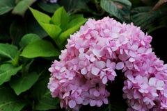 Les belles couleurs roses des fleurs d'hortensia est un genre de beaucoup d'espèces d'usines fleurissantes image libre de droits