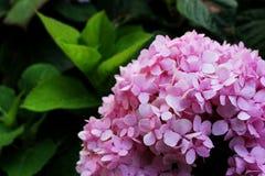 Les belles couleurs roses des fleurs d'hortensia est un genre de beaucoup d'espèces d'usines fleurissantes photographie stock