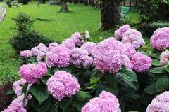 Les belles couleurs roses des fleurs d'hortensia est un genre de beaucoup d'espèces d'usines fleurissantes photos libres de droits