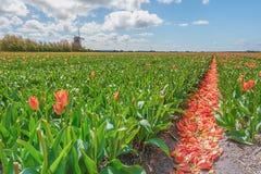 Les belles et colorées tulipes néerlandaises met en place avec du typique Image stock