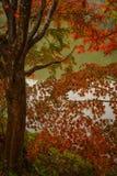 Les belles feuilles de l'arbre d'érable japonais images libres de droits