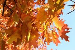 Les belles feuilles rouges et oranges décorent des chênes d'automne photographie stock libre de droits