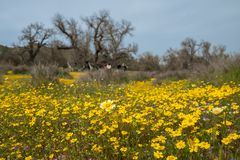Les belles fleurs couvrent le flanc de coteau de la Californie du sud pendant la fleur superbe photos libres de droits
