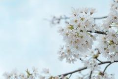 Les belles fleurs de cerisier blanches fleurissent la branche d'arbre dans le jardin avec le ciel bleu clair gentil fond naturel  Image stock