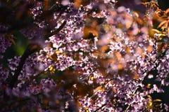 Les belles fleurs de cerisier Sakura de rose de fleur fleurissent le matin su Image stock