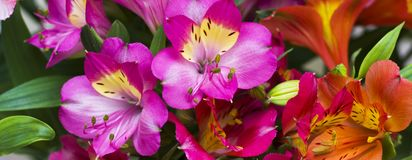 Les belles fleurs de ressort de couleur pourpre photos libres de droits