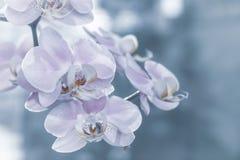 Les belles fleurs douces d'orchidée sont lumière molle rentrée Photographie stock libre de droits