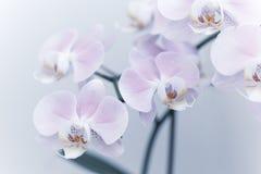 Les belles fleurs douces d'orchidée sont lumière molle rentrée Images libres de droits