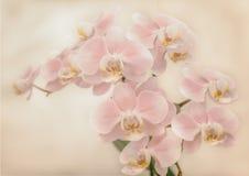 Les belles fleurs douces d'orchidée sont lumière molle rentrée Photo stock