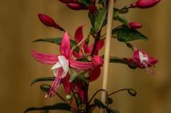 Les belles fleurs fuchsia roses et blanches, dans un arrangement naturel, se ferment, pleine floraison et en employant un De peu  images stock