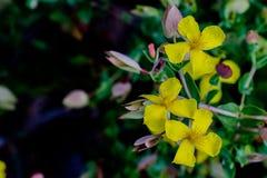 Les belles fleurs jaunes du moût de St John's image libre de droits