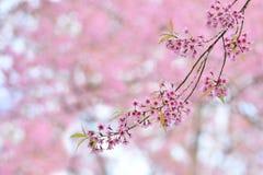 Les belles fleurs roses de la cerise de l'Himalaya sauvage un autre nom est Photos stock