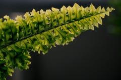 Les belles fougères poussent des feuilles fin noire foncée de fond de fougère florale naturelle verte de feuillage  image stock