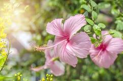 Les belles ketmies de rose de plan rapproché fleurissent avec le fond vert de feuille images libres de droits