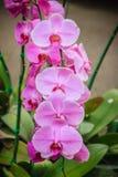 Les belles orchidées de mite roses (Phalaenopsis) fleurit dans le jardin Photo stock