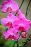 Les belles orchidées de mite roses (Phalaenopsis) fleurit dans le jardin Images libres de droits