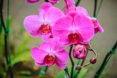 Les belles orchidées de mite roses (Phalaenopsis) fleurit dans le jardin Image stock