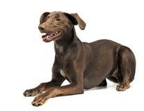 Les belles oreilles de vol ont mélangé le chien de race détendant dans un studio blanc Image stock