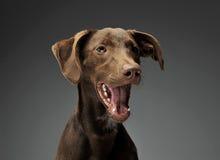 Les belles oreilles de vol ont mélangé le portrait de chien de race dans le backgroun gris Photographie stock