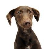 Les belles oreilles de vol ont mélangé le portrait de chien de race dans un studio blanc Photo stock