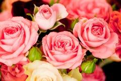 Les belles roses colorées fleurit le macro fond de carte de plan rapproché image libre de droits