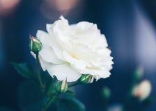 Les belles roses crémeuses beiges blanches magiques rêveuses féeriques fleurit sur le fond vert-bleu trouble fané Images stock