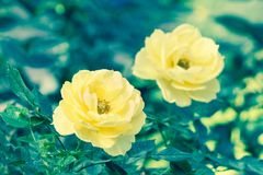 Les belles roses fleurissent et verdissent le fond de feuille dans le jardin à l'été ou à la journée de printemps ensoleillé Image stock