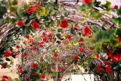 Les belles roses rouges fleurissant dans le métal percent un tunnel pour le fond ou la texture, jour du ` s de Valentine photo libre de droits