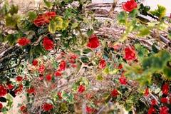Les belles roses rouges fleurissant dans le métal percent un tunnel pour le fond ou la texture, jour du ` s de Valentine photographie stock libre de droits