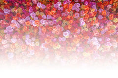 Les belles roses rouges naturelles fleurissent le fond pour des occasions spéciales image libre de droits