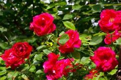 Les belles roses s'élevantes rouges pendant l'été font du jardinage Fleurs décoratives ou concept de jardinage Image libre de droits