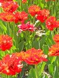 Les belles tulipes rouges de grenadine se développent sur un lit Images stock
